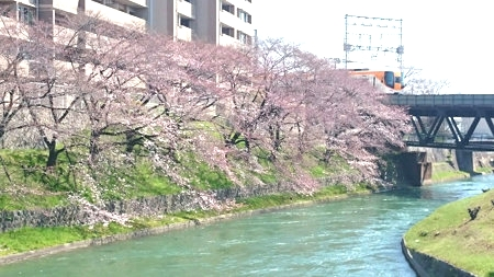 170416sakura (2)