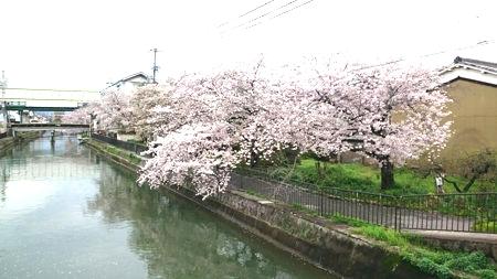 170416sakura (1)